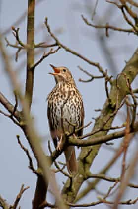 A song thrush in Swaledale, Yorkshire.