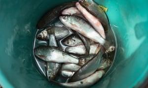Freshly caught fish in the Thai province of Khon Kaen