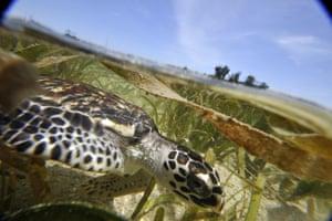 Hawksbill turtle in Indonesia