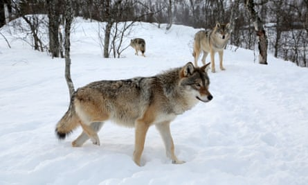 A pack of wolves in Norway