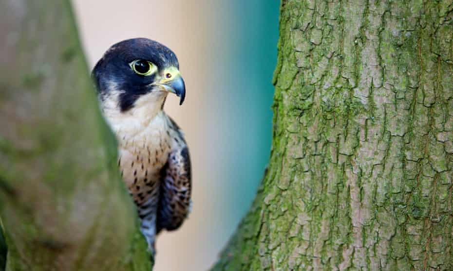 Peregrine in a tree