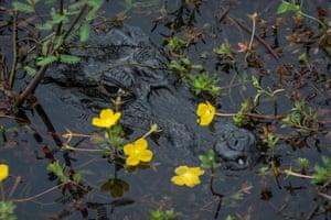 A Yacare caiman lurking underwater.