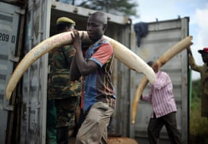 Volunteers carry elephant tusks to the burning site