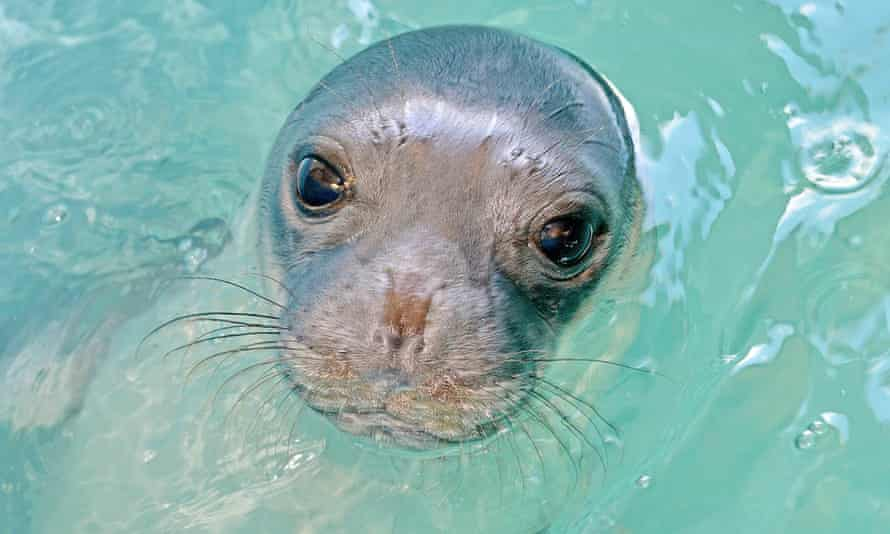 Monk seals such as Kostis are considered among the world's most threatened species.