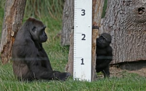 Gorillas sit next to a ruler