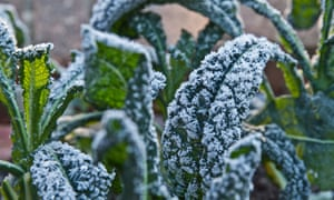 A close-up of frost-covered kale, growing
