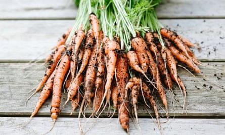 Freshly picked carrots covered in soil