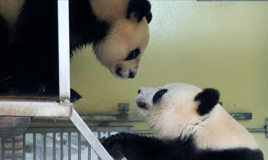 Female panda Huan Huan (L) and male panda Huan Zi meet during an attempt to mate the pair in their enclosure at the Beauval Zoo
