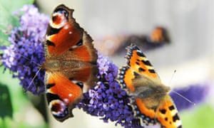 A peacock butterfly and a small tortoiseshell butterfly warm themselves on a buddleia plant. Well, we think it is...