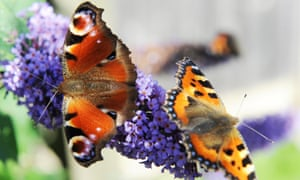 A peacock butterfly (left) and a small tortoiseshell butterfly