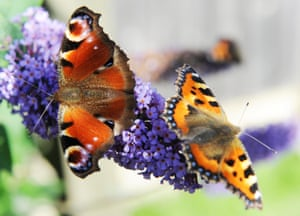 In the past, small tortoiseshells (right) were abundant on the buddleia flowers, alongside the peacocks (left). But they have all but disappeared.