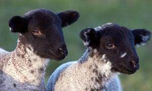 A pair of spring lambs.