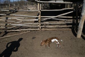 A breeder watches a dying calf on a ranch in Putaendo. More than 30,000 head of livestock have died of hunger or thirst, and crops have been lost for lack of rain in Chile.