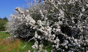 'The blackthorn breaks / Into its white flourish' … blackthorn blossom.