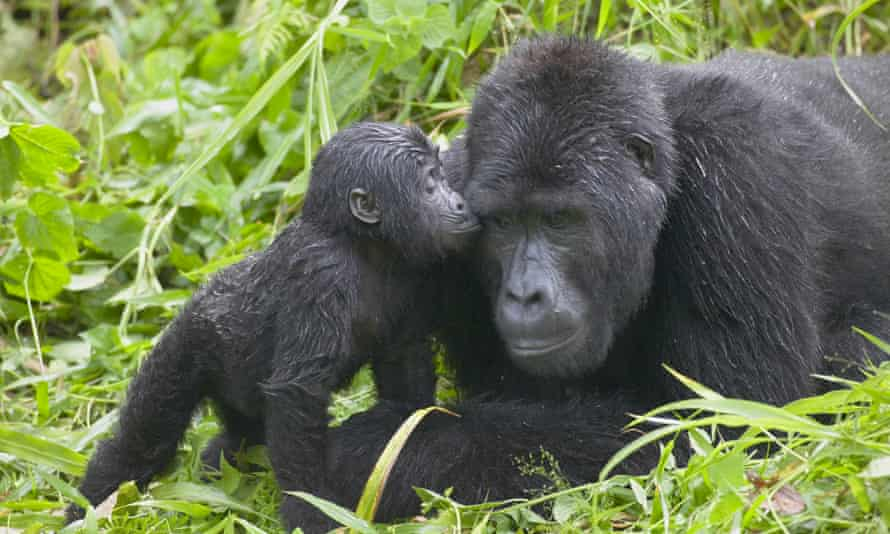 A baby gorilla with its mother