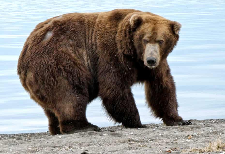 Bear number 747 is described as 'the river's most dominant male bear'.