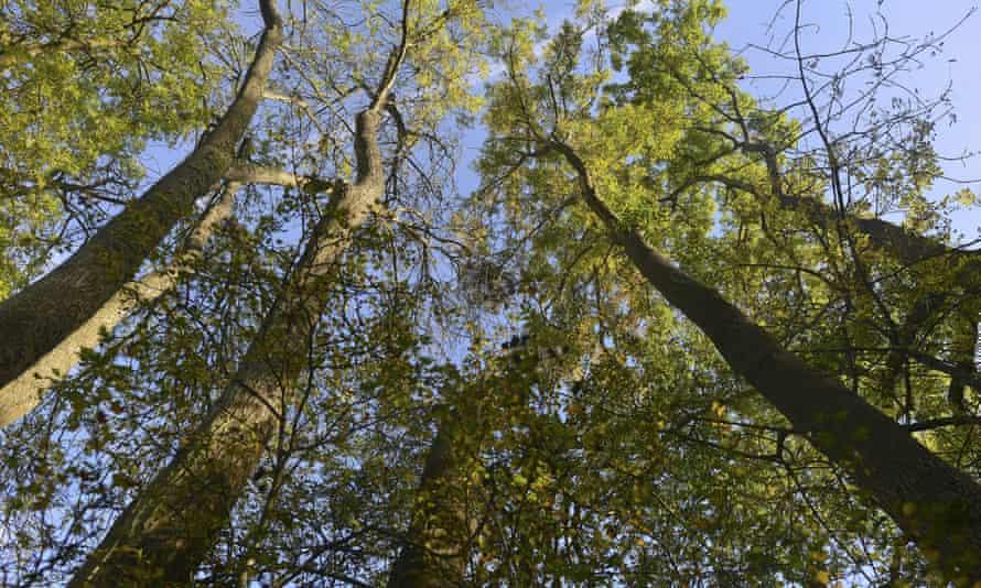 Ash trees at Winkworth Arboretum