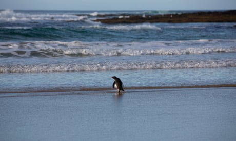 Tiny penguin from New Zealand released back into wild after washing up on beach in Australia – video