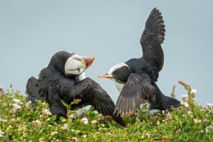 Two Atlantic Puffins squabble and clash beaks with one another