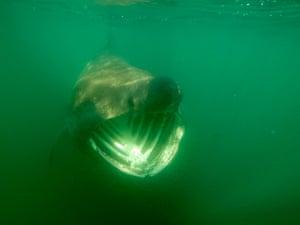 Basking sharks around Isle of Man