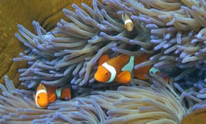 Clown fish swimming through the coral on Australia's Great Barrier Reef