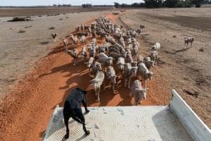 Sheep follow the family truck.