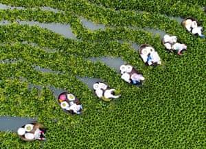 Taizhou, China: Farmers collect water caltrop nuts on Qiuxue lake