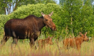 A family of elk in Chernobyl exclusion zone.
