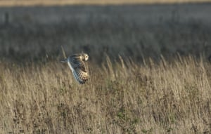 A short-eared owl (Asio flammeus) flying over fenland in the UK.