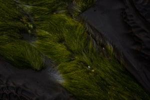 Beard-like Filamentous green Algae growing on the basalt rock shelf at Pirates Cove near Skenes Creek.