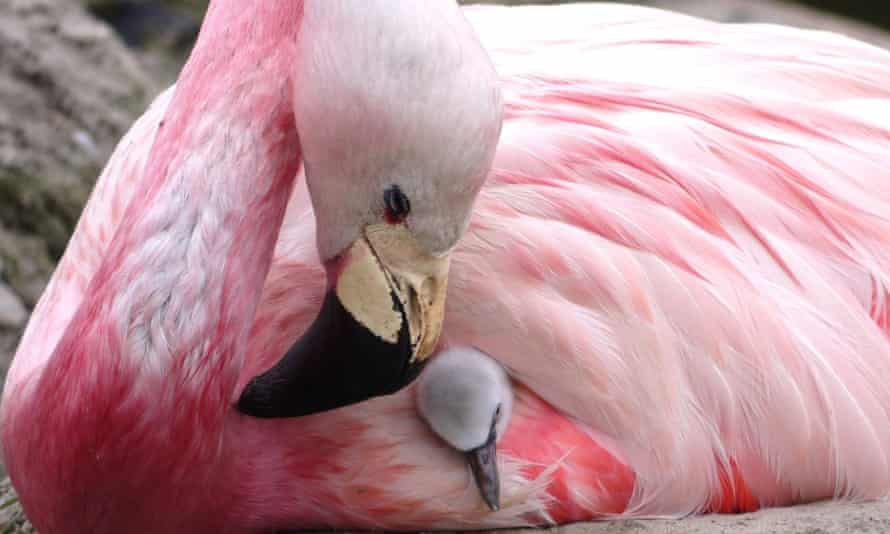 Ray of hope … an Andean flamingo with a surrogate Chilean flamingo chick.