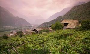 A2TBCW Nebbiolo vines on pergolas at Carema in the Dora Baltea valley Piemonte Italy Carema