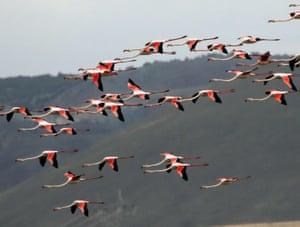 Flamingos fly over at Mogan Lake in Ankara, Turkey.