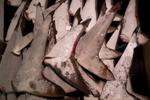 A selection of tails from illegally caught sharks discovered in the freezer of Taiwanese longliner Shuen De Ching No 888. Sacks containing 75 kilograms of shark fins from at least 42 sharks were found on the boat. Under Taiwanese law and Pacific fishing rules, shark fins may not exceed 5% of the weight of the shark catch, and with only three shark carcasses reported in the log book, the vessel was in clear violation of both.