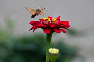 A hummingbird hawk moth (Macroglossum stellatarum) collects floral nectar in the Botanical Garden-Institute of the Far Eastern Branch of the Russian Academy of Sciences.