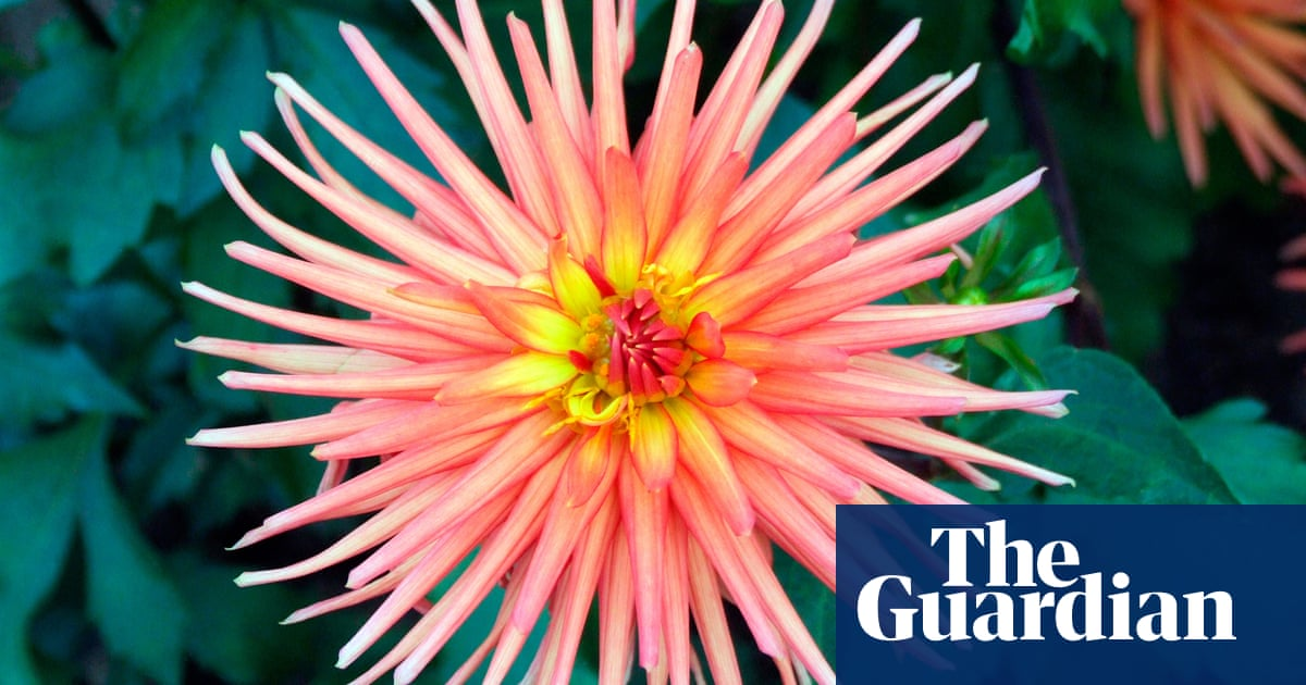 How to grow dahlia cultivars