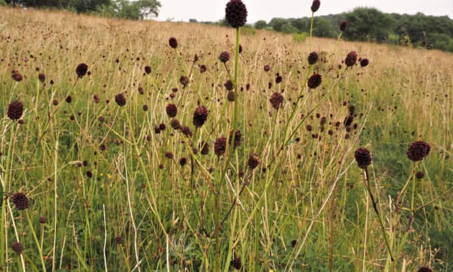 Field of great burnet
