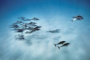 Spinner dolphins, Oahu, Hawaii, 2013.