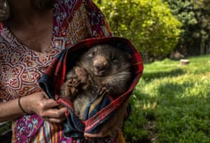 An orphaned wombat at the Native Wildlife Rescue centre in Robertson, Australia