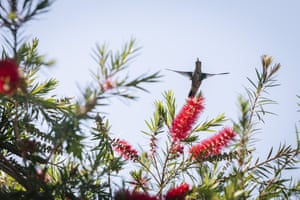 Asuncion, Paraguay: A glittering-bellied emerald hummingbird hovers among the weeping bottlebrush flowers to feed nectar in a backyard garden