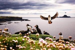 Puffins nest on the Treshnish Isles, Inner Hebrides, Scotland