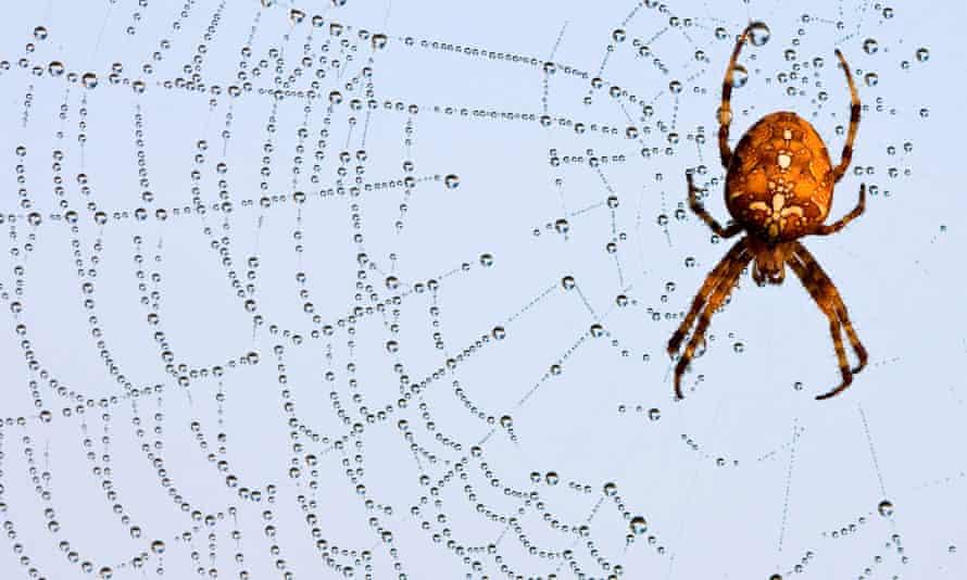 The garden cross spider (Araneus diadematus)  in a web