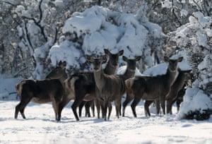 Deer enjoy snow at a breeding facility at Uludag University in Bursa, Turkey