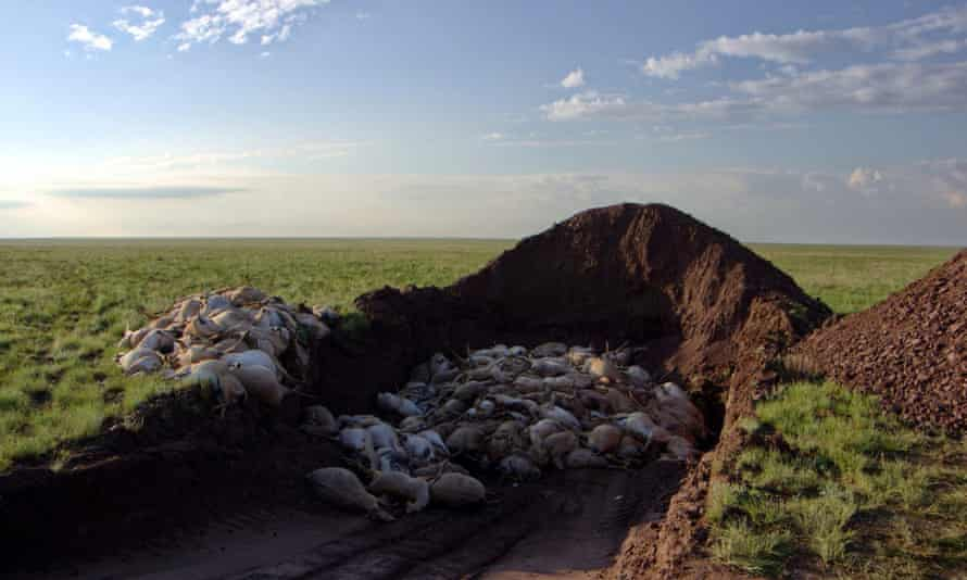 To prevent any possible crossover of pathogens from dead saiga to other wildlife or to domestic livestock, government teams collected and buried saiga carcasses.