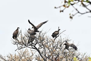 A committee of vultures descends on a tree at the Boma National Park in eastern South Sudan, home to Africa's largest savanna and wetland and the second-largest mammal migration.