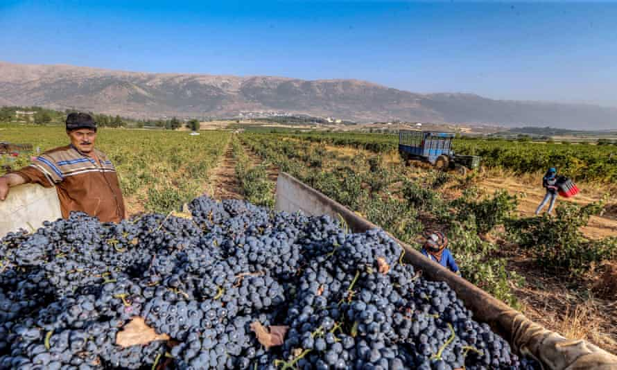Harvesting grapes at a vineyard in the Western Bekaa, Lebanon in 2019.