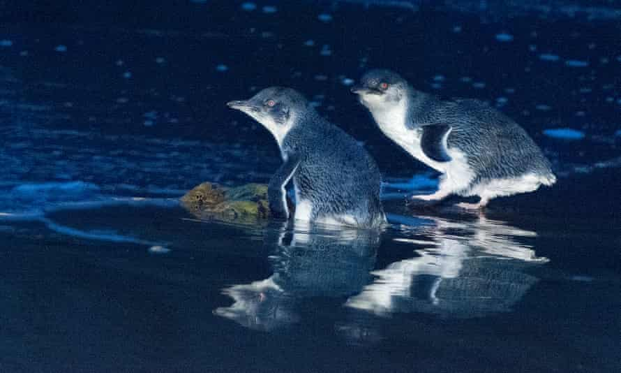 Little penguins – the species has been eliminated from Maria Island by introduced Tasmanian devils.