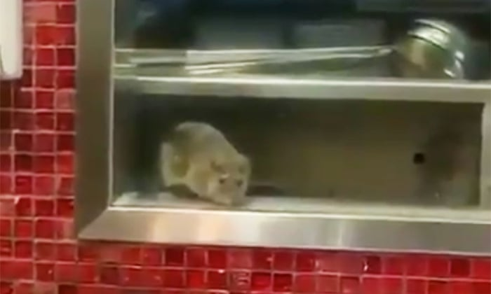 4fd98aaa16d Vermin invasion: Sydney construction boom sends rats into restaurants |  Australia news | The Guardian