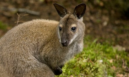 A wallaby on Inchconnachan on Loch Lomond pictured in 2010