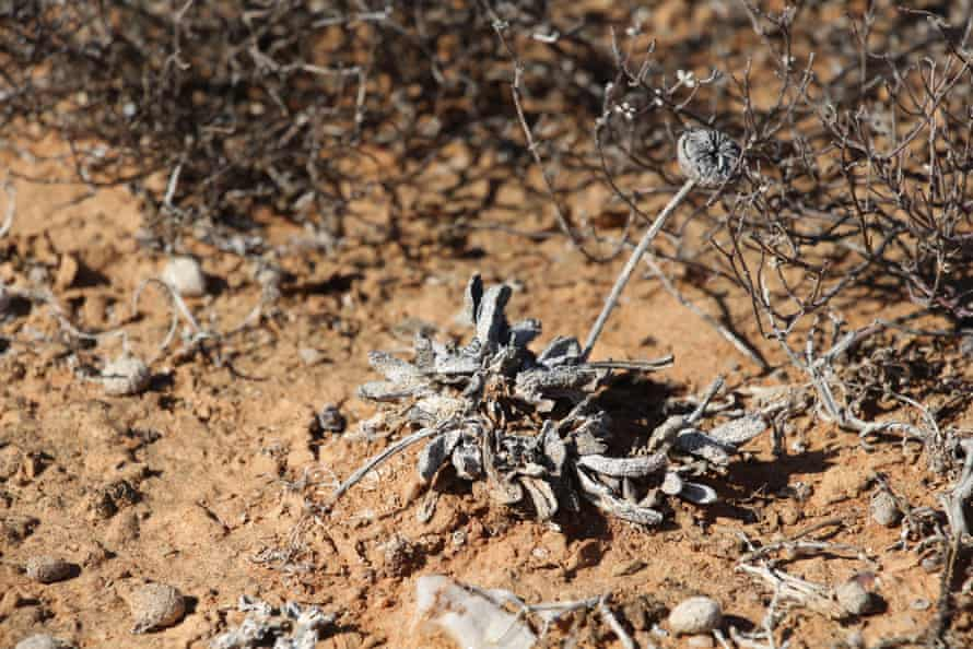Cephalophyllum spissum not looking healthy